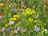 Aromapflanzen (Samen)