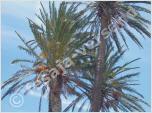 Palmengewächse (Samen)
