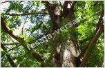 Mammutbäume (Samen)