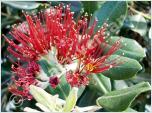 Pflanzen aus Australien