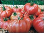Tomaten (Samen)