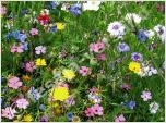 Wildblumen (Samen)
